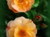 roseraie07